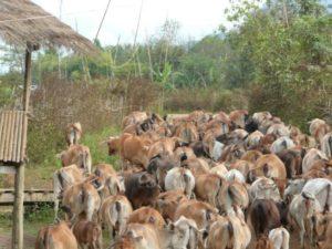 162967-cow-invasion-vang-vieng-laos