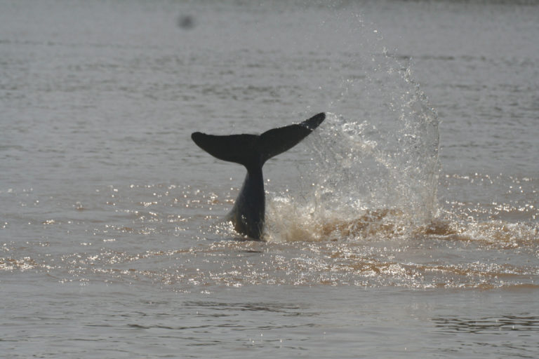 Irrawaddy dolphins at Koh Kon in the Mekong River. Photographed during dolphin population research conducted by WWF Cambodia's Mekong Dolphin Conservation Project in November 2007.