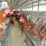 Chicken Farm Stink Raised at National Assembly