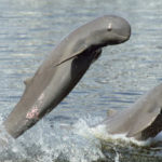Irrawaddy Dolphins Functionally Extinct in Laos: Survey