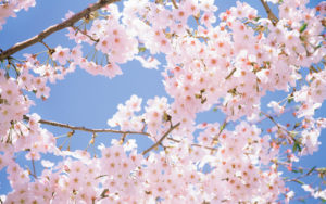 4508271-blossom-wallpapers
